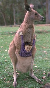 Everyone Knows You Dont Ride On A Kangaroo In